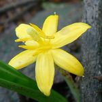 Yellow golden eye grass or xian mao or curculigo orchioides improves testosterone levels